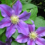 Carnival Clematis – 1 pre-started plant