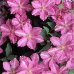 Sprinkles Clematis – 1 pre-started plant