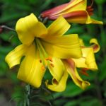Golden Splendor Trumpet Lily – 5 bulbs