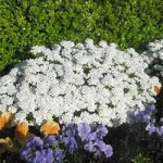 Snowflake Candytuft – 10 root divisions