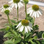 White Swan Coneflower – 10 root divisions