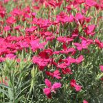 Zing Rose Dianthus – 10 root divisions