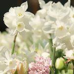 Mount Hood Trumpet Daffodil – 10 bulbs