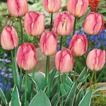 New Design Triumph Tulip – 10 bulbs