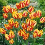 Color Spectacle Single Late Tulip – 10 bulbs