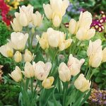 Candy Club Multiflowering Tulip – 10 bulbs