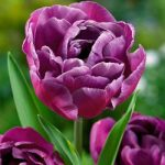 Blue Diamond Double Late Tulip – 10 bulbs