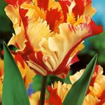 Flaming Parrot Tulip – 10 bulbs