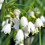 Summer Snowflake Leucojum – 25 bulbs