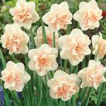Rosy Cloud Double Daffodil – 10 bulbs