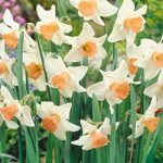 Rose Worthy Large Cup Daffodil – 10 bulbs