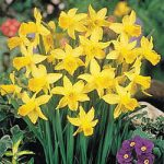 February Gold Cyclamineus Daffodil – 10 bulbs