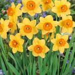 Amber Gate Large Cup Daffodil – 10 bulbs