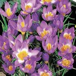 Tri-Color Species Crocus – 10 bulbs