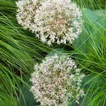 Ivory Queen Allium – 5 bulbs