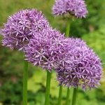 Purple Sensation Allium – 5 bulbs