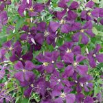 Etoile Violette Clematis – 1 pre-started plant