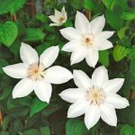 Henryi Clematis – 1 pre-started plant
