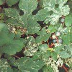 Ivy Porcelain Climbing Vine – 1 pre-started plant