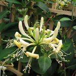 Honey Baby Honeysuckle – 1 pre-started plant
