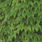 Boston Ivy Climbing Vine – 1 pre-started plant