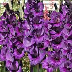 Purple Flora Gladiolus – 5 bulbs