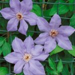 Ramona Clematis – 1 pre-started plant