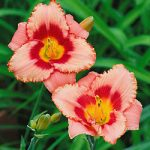Strawberry Candy Daylilies – 3 root divisions