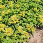 Ellacombianum Sedum – 10 root divisions