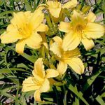 Mary Todd Daylily – 10 root divisions