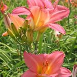 Vivacious Daylily – 10 root divisions