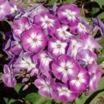 Laura Tall Summer Phlox – 3 root divisions