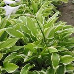 So Sweet Hosta – 10 root divisions