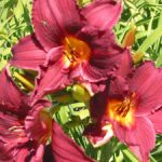 Pammeke Daylily – 10 root divisions
