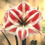 Clown Jumbo Amaryllis – 1 bulb