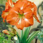 Nagano Jumbo Amaryllis – 1 bulb