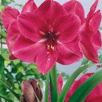Hercules Jumbo Amaryllis – 1 bulb