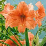 Rilona Jumbo Amaryllis – 1 bulb