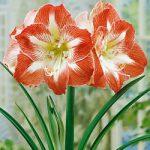 Minerva Jumbo Amaryllis – 1 bulb