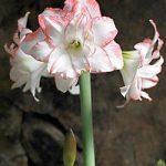 Apple Blossom Jumbo Amaryllis – 1 bulb