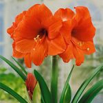 Orange Sovereign Jumbo Amaryllis – 1 bulb