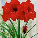 Red Lion Jumbo Amaryllis – 1 bulb