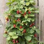 Strawberry Vertical Garden