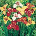 Mexican Shell Flowers Tigridia – 25 bulbs