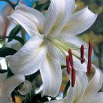 Casa Blanca Oriental Lily – 5 bulbs