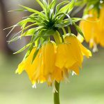 Lutea Fritillaria Crown Imperial imperialis – 1 bulb
