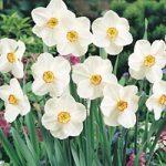 Actaea Poeticus Daffodil – 10 bulbs