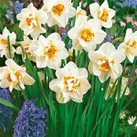 Flower Drift Double Daffodil – 10 bulbs