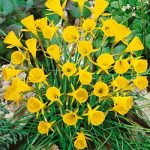 Golden Bells Bulbocodium Daffodil – 10 bulbs
