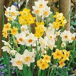 Mixed Small Cup Daffodil – 10 bulbs